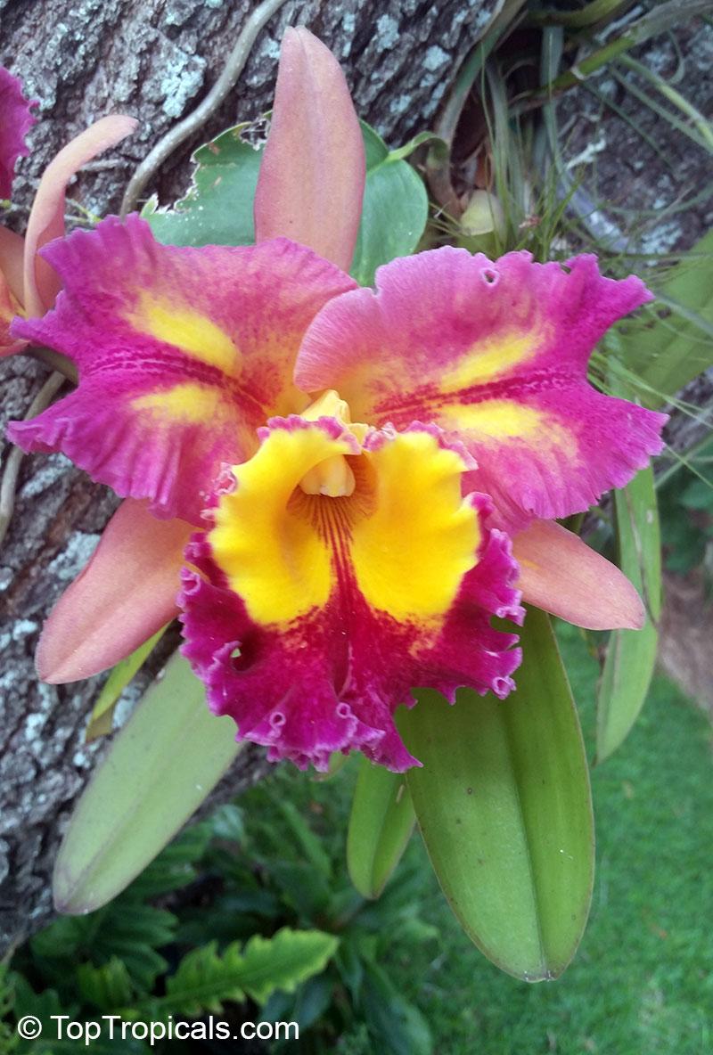 Cattleya sp cattleya orchid for Orchidea cattleya
