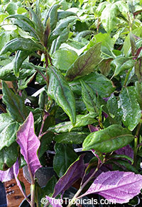 Gynura crepioides, Okinawa Spinach, Purple Spinach