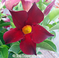 Dipladenia sanderi, Mandevilla sanderi, Mandevilla  Click to see full-size image