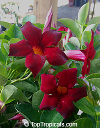 Dipladenia x Cabernet MandeVino