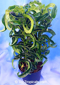 Codiaeum variegatum Revolutions - Bonsai Croton  Click to see full-size image
