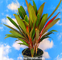 Cordyline Hilo Rainbow - Hawaiian Ti LeafClick to see full-size image