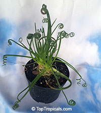 Albuca spiralis Frizzle Sizzle  Click to see full-size image