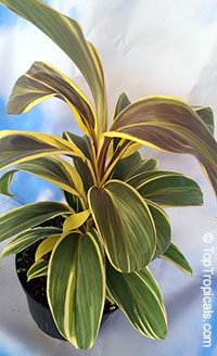Cordyline Mocha Latte (Miss Andrea) - Hawaiian Ti Leaf  Click to see full-size image