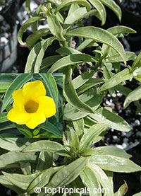 Allamanda schottii Silver Jenny