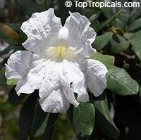 Tabebuia bahamensis - Dwarf Bahamian Trumpet TreeClick to see full-size image
