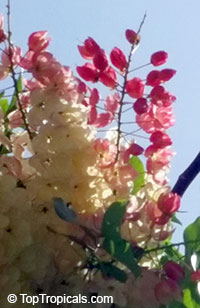 Cassia fistula x grandis - Rainbow Shower  Click to see full-size image