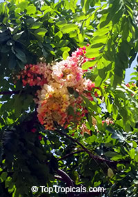 Cassia javanica, Apple Blossom Tree, Apple Blossom Shower  Click to see full-size image