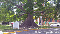 Ceiba pentandra, Kapok tree, Silk Cotton Tree