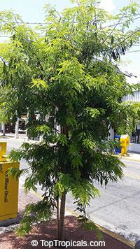 Pithecellobium flexicaule, Acacia flexicaulis, Ebenopsis flexicaulis, Texas Ebony  Click to see full-size image
