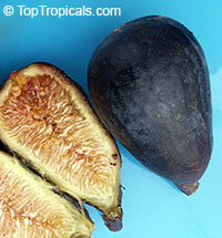 Ficus carica - Fig Black Mission  Click to see full-size image