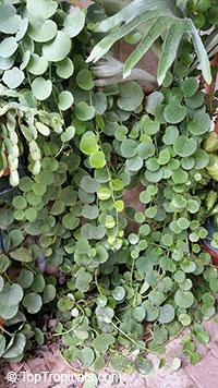 Cissus rotundifolia, Arabian Wax Leaf, Peruvian Grape Ivy, Venezuelan Treebine, Succulent Grape  Click to see full-size image