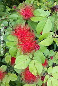 Calliandra emarginata Nana - Dwarf Powderpuff   Click to see full-size image