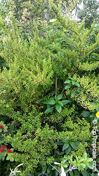 Satureja Viminea - Kama Sutra Mint Tree  Click to see full-size image
