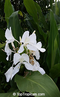 Hedychium coronarium, White Ginger, Butterfly Ginger Lily  Click to see full-size image