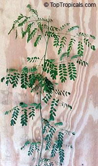 Delonix floribunda, Delonix adansonioides, Baobab Poinciana  Click to see full-size image