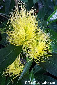 Justicia (Schaueria) flavicoma - Golden Plume  Click to see full-size image