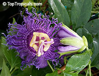 Passiflora incarnata x cincinnata 'Incense', Passiflora 'Incense', Fragrant Passion Flower  Click to see full-size image