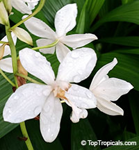 Spathoglottis White Angel - Coconut Cloud Ground Orchid