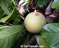 Pouteria hypoglauca , Cinnamon Apple   Click to see full-size image