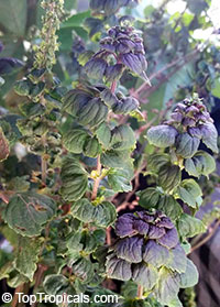 Perilla frutescens - Shiso, Shishi Herb, Beefsteak Plant  Click to see full-size image
