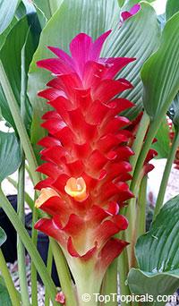 Curcuma Sangria - Red Siam TulipClick to see full-size image