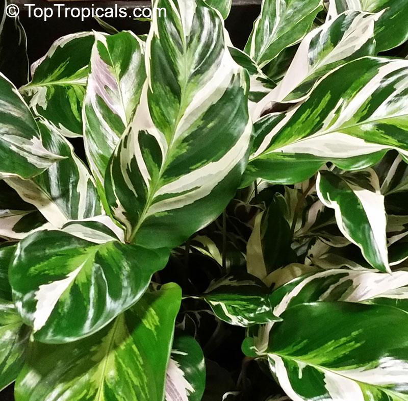 Calathea Hybrid Calathea Fusion White Ppaf Toptropicals Com