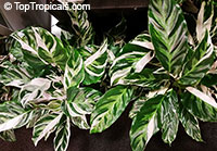 Calathea hybrid, Calathea Fusion White PPAF  Click to see full-size image