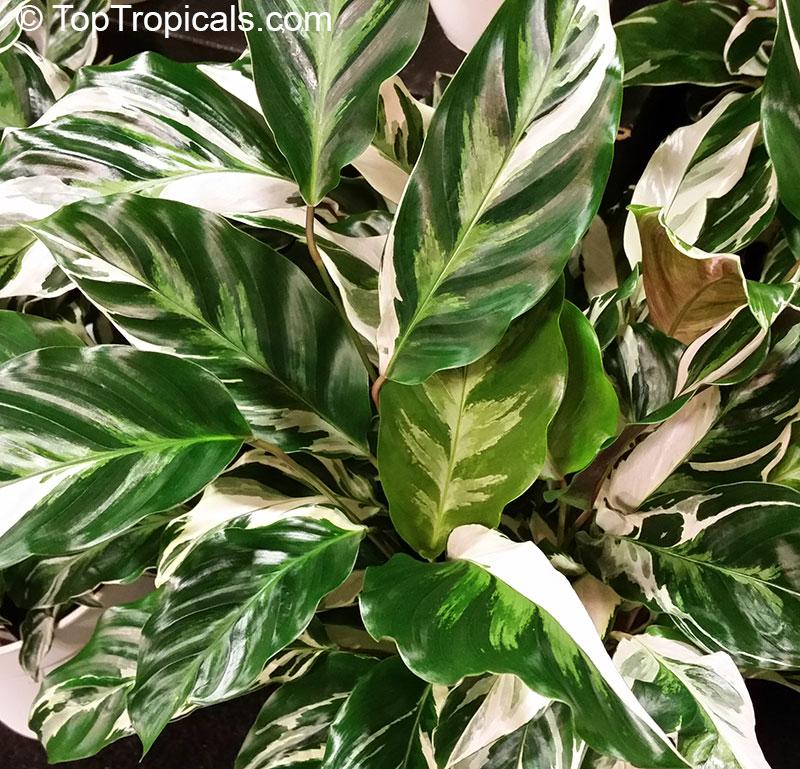 Calathea hybrid calathea fusion white ppaf Calathea plants for sale