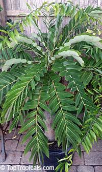 Phyllanthus mirabilis, Phyllanthodendron mirabilis, Dragon Wings, Buddhas Prayer, Namaste PlantClick to see full-size image
