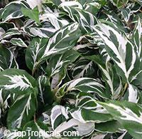 Calathea hybrid, Calathea Fusion White PPAF  Click to see full-size image