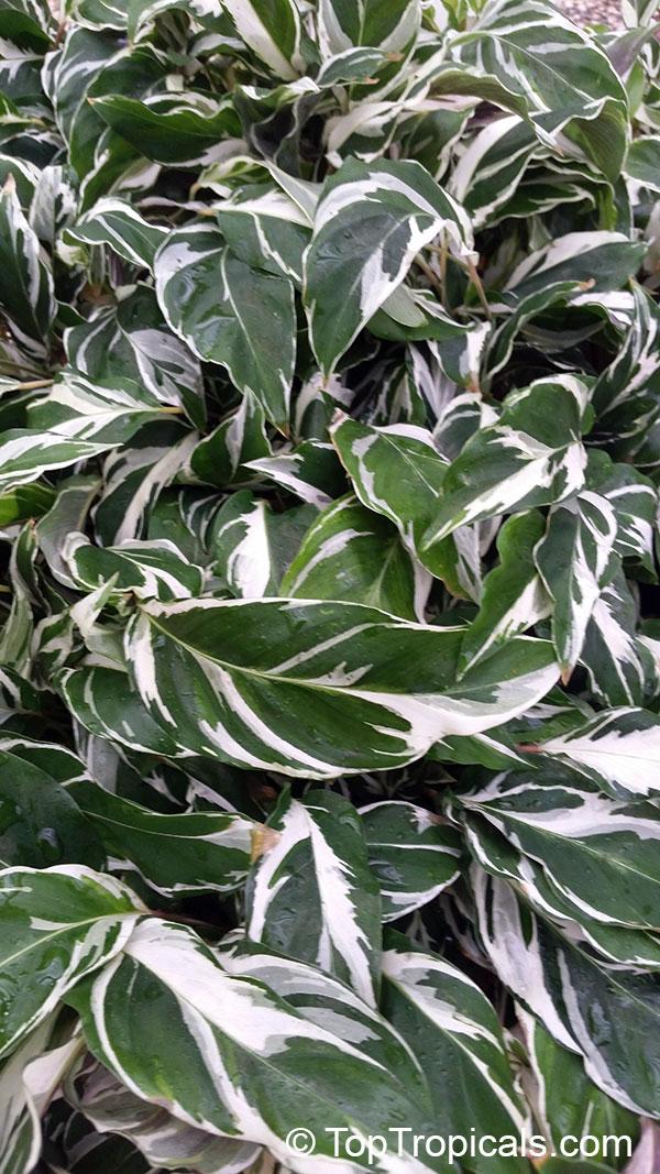 Garden Bush: Calathea Hybrid, Calathea Fusion White PPAF