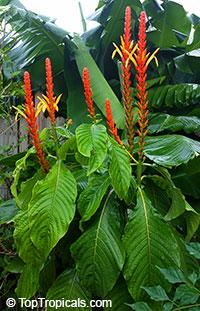 Aphelandra hartwegiana - Yellow Aphelandra  Click to see full-size image
