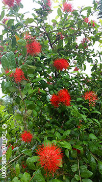 """Combretum constrictum """"Thailand""""Click to see full-size image"""