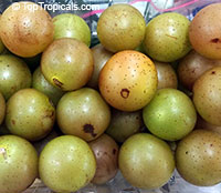 Vitis rotundifolia, Muscadinia rotundifolia, Muscadine Grape, Scuppernong, Bullace, Southern Fox Grape  Click to see full-size image