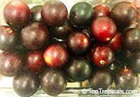 Vitis rotundifolia, Muscadinia rotundifolia, Muscadine Grape, Scuppernong, Bullace, Southern Fox GrapeClick to see full-size image