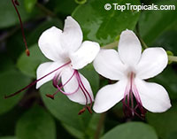 Clerodendrum inerme - Wild Jasmine, Seaside clerodendrum  Click to see full-size image