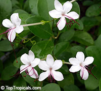 Clerodendrum glabrum - seeds  Click to see full-size image