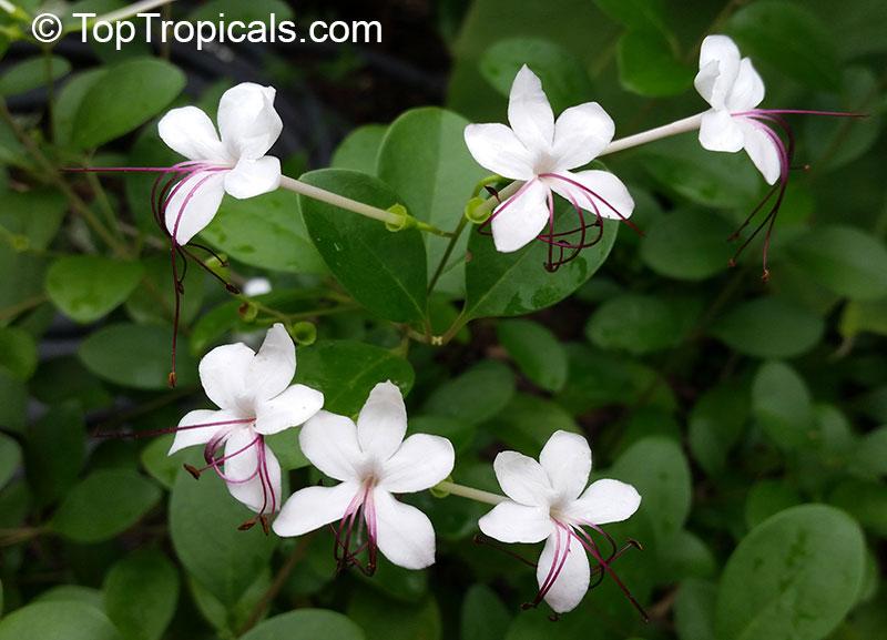 Garden Bush: Clerodendrum Inerme, Volkameria Inermis, Wild Jasmine
