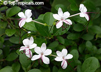 Clerodendrum inerme, Volkameria inermis, Wild Jasmine, Sorcerers Bush, Seaside clerodendrum, ClerodendronClick to see full-size image