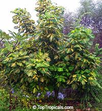 Erythrina variegata, Erythrina indica, Coral Tree, Sunshine Tree  Click to see full-size image