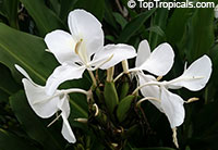 Hedychium coronarium - Butterfly Ginger  Click to see full-size image