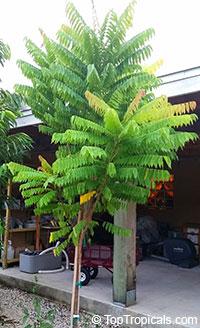 Averrhoa bilimbi, Bilimbi, Cucumber Tree, Tree Sorrel, Kamias, Belimbing Asam, Belimbing Buloh  Click to see full-size image