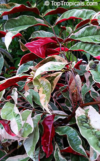 Excoecaria cochinchinensis, Excoecaria bicolor, Strawberry Cream, Jungle Fire, Chinese croton, Variegated Leaf