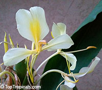 Hedychium gardnerianum, Indian Ginger, Kahili Ginger, Kahila garland-lily  Click to see full-size image
