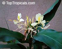 Hedychium gardenerianum, Indian Ginger, Kahili Ginger, Kahila garland-lily