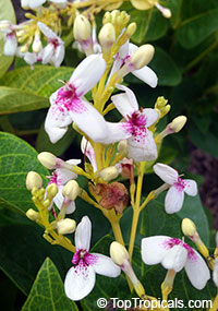 Pseuderanthemum carruthersii var. reticulatum, Pseuderanthemum reticulatum, Yellow-Vein Eranthemum, Golden Pseuderanthemum  Click to see full-size image