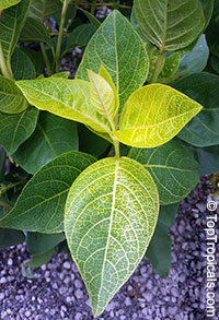 Pseuderanthemum reticulatum, Yellow-Vein Eranthemum, Golden Pseuderanthemum