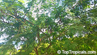 Anadenanthera colubrina, Vilca, Huilco, Huilca, Wilco, Willka, Cebil, AngicoClick to see full-size image
