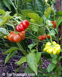 Capsicum baccatum, Starfish Pepper, Brazilian Starfish, Christmas Bell, Bishops Crown  Click to see full-size image
